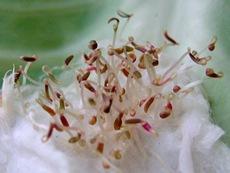 Проросшие семена амаранта, фото