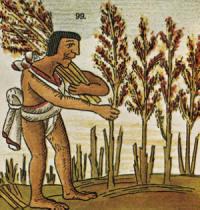 Выращивание амаранта инками